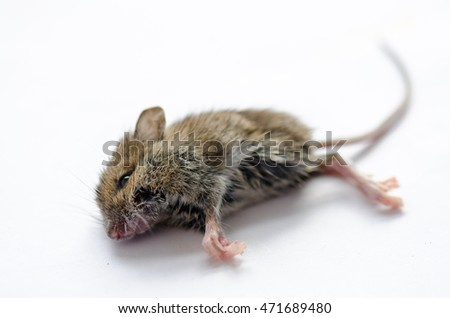 Dead mouse on white background.
