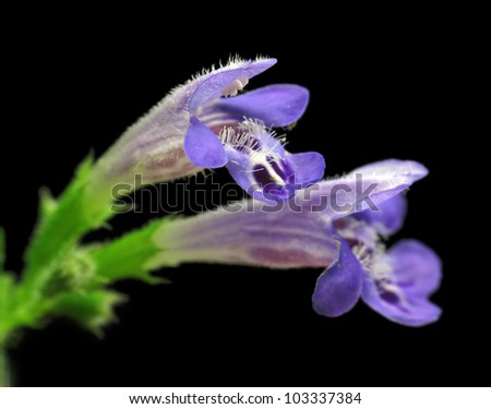 Dead-nettle flower closeup - stock photo