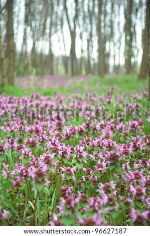 Dead nettle growing in a forest in springtime. - stock photo