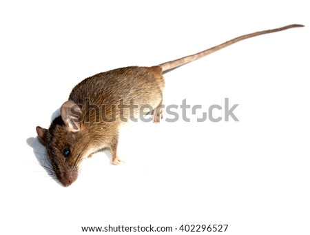 Dead rat isolated