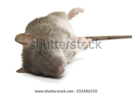 Dead rat on a white background - stock photo