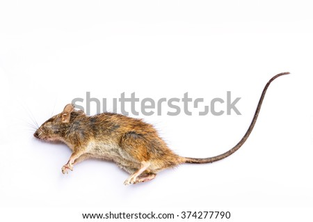 Dead Rat on white background - stock photo
