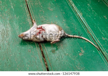 dead rat with bloody wound and yellow tooth lie on rural wooden floor. - stock photo