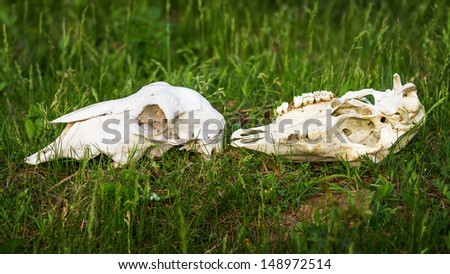 dead red deer skulls - stock photo