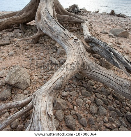 dead roots of tree  - stock photo