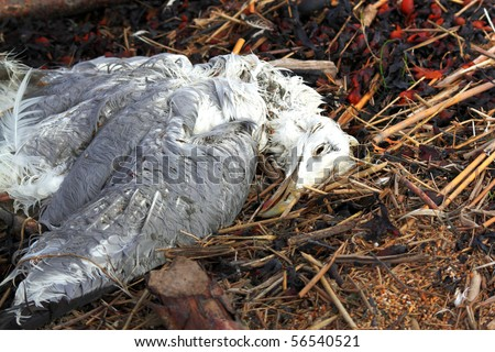 dead seamew on flotsam and jetsam background - stock photo