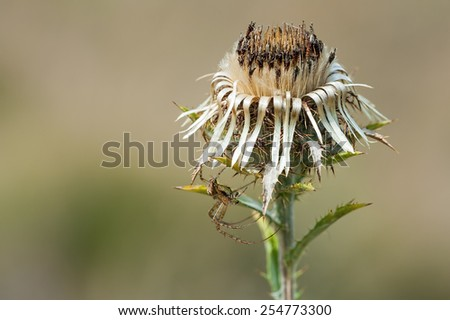 Dead thistle flower with spider - stock photo