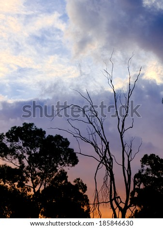 dead tree against a sunset in australia