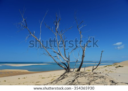 Dead tree along the sand dunes of Bazaruto Island, Mozambique. - stock photo