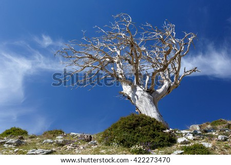 Dead tree from the famous Enchanted Forest place in Ochi mountain, against a blue sky and clouds in Greece - stock photo