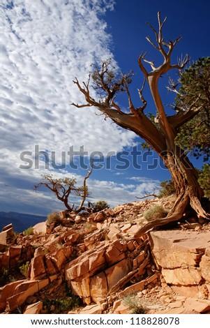 Dead tree - Grand canyon, Arizona USA - stock photo