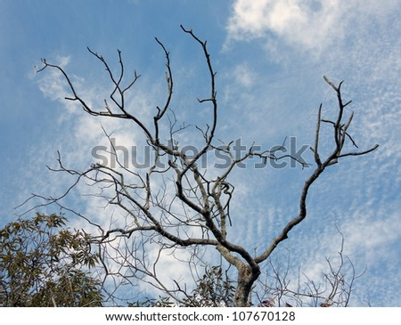 Dead tree in Los Llanos - El Cedral, Venezuela - stock photo