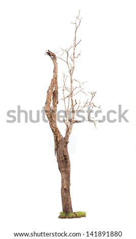 Dead tree in the forests of Thailand ,isolated on white background - stock photo