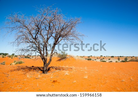 dead tree in the red sand of the Kalahari desert, Namibia - stock photo