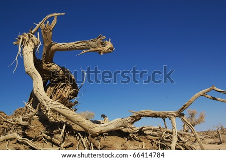 Dead tree of diversifolia populus in the desert of China - stock photo