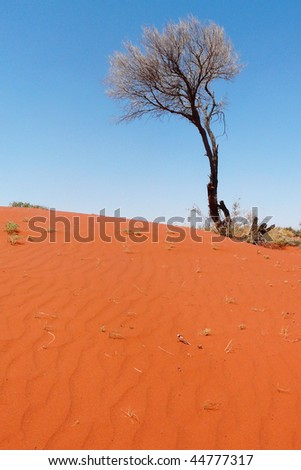 Dead tree on a sandy dune in the Australian Red Center - stock photo