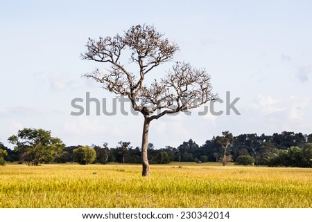 Dead tree on rice fields - stock photo