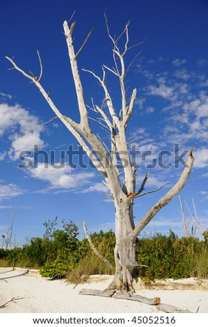 Dead Tree on the Beach in Fort Myers Florida - stock photo