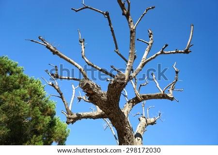Dead tree under blue sky - stock photo