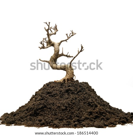 Dead tree with no leafs on white background - stock photo