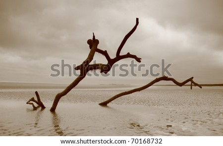 Dead trees on a beach, swept forward as the tide submerges them every day. - stock photo