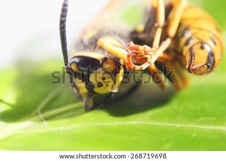 Dead vespula germanica or European wasp closeup - stock photo