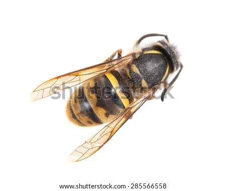 Dead wasp isolated on a white background - stock photo