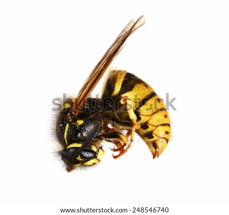 Dead Wasp. Wasp that has died of being sprayed with poison - stock photo