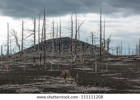 Dead wood - a consequence of a catastrophic release of ash during the eruption of the volcano in 1975 Tolbachik (north breakthrough) - Kamchatka, Russia - stock photo