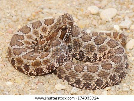 Deadly snakes - Desert (Western) Massasauga rattlesnake, Sistrurus catenatus edwardsi,  coiled and ready to strike - stock photo