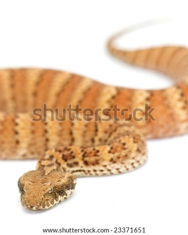 Death Adder isolated on white background