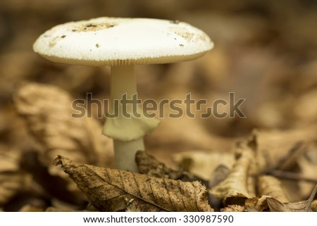 Death cap (Amanita phalloides), poisonous mushroom ,macro ( selective focus ) - stock photo