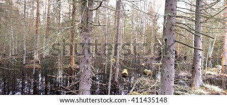 Death of old forest 4. Beavers flooded old spruce forest  - stock photo