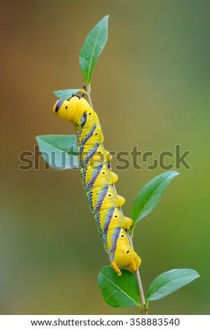 Death's-head Hawk moth - Acherontia atropos - stock photo