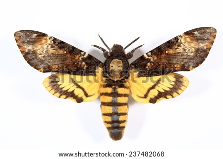 Death's-head Hawkmoth - Acherontia atropos, the butterfly which became famous by the movie 'The Silence Of The Lambs' with its characteristic skull-shaped pattern on the thorax - stock photo