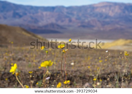 Death Valley National Park wildflowers in March - stock photo