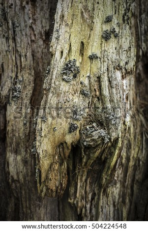 Decaying Scots Pine trunk.