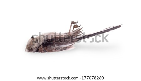 Deceased long-tailed tit, isolated on white background, side view - stock photo