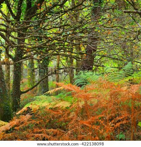 Deciduous autumn oak forest with ferns - stock photo
