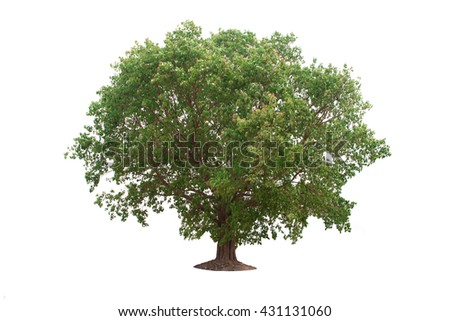 deciduous banyan tree on a white background