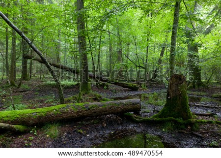 Deciduous stand in springtime with broken tree moss wrapped lying in foreground,Bialowieza Forest, Poland, Europe