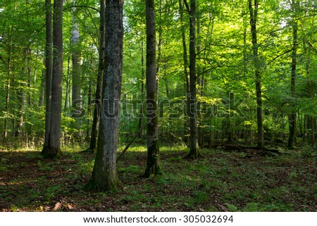 Deciduous stand of Bialowieza Forest in morning light of summer with old oak and hornbeam,Bialowieza Forest,Poland,Europe - stock photo