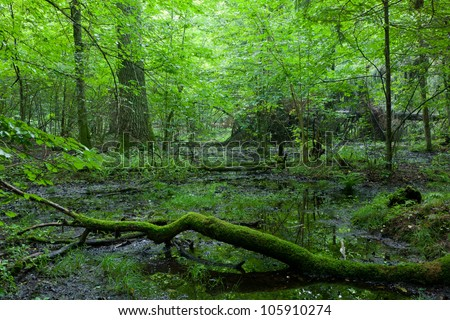 Deciduous stand of Bialowieza Forest in springtime with broken branch moss wrapped lying in foreground - stock photo