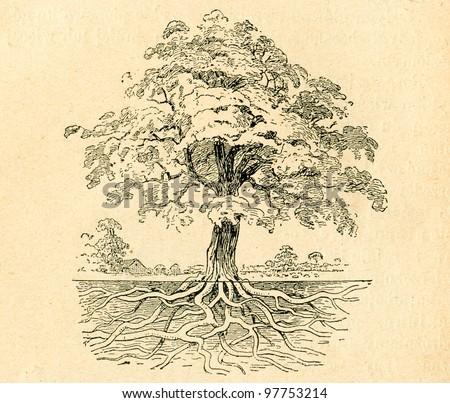 Deciduous tree- old illustration by unknown artist from Podrecznik do nauki Botaniki, authors M.Arctowna and W Grzegorzewska, editor M.Arcta, Warsaw, 1907 - stock photo