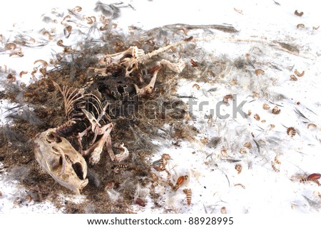 Decomposing life cycle of a grey field mouse (Mus Musculus)  - day 044