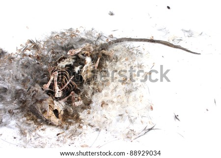 Decomposing life cycle of a grey field mouse (Mus Musculus)  - day 030