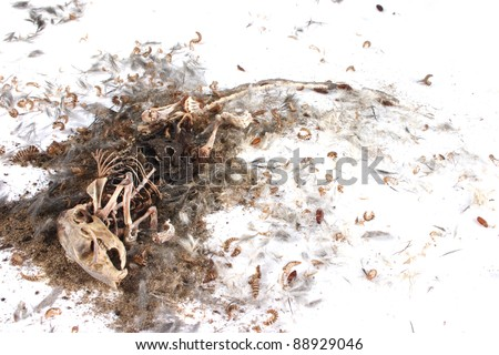 Decomposing life cycle of a grey field mouse (Mus Musculus)  - day 041