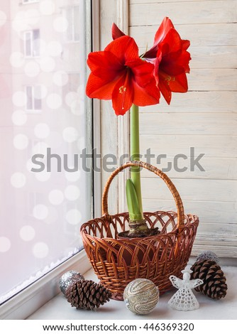 Decor winter window with red Hippeastrum (amaryllis) waiting for Christmas