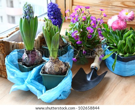 Decoration of balcony hyacinths and primrose Spring flowers on pot - stock photo