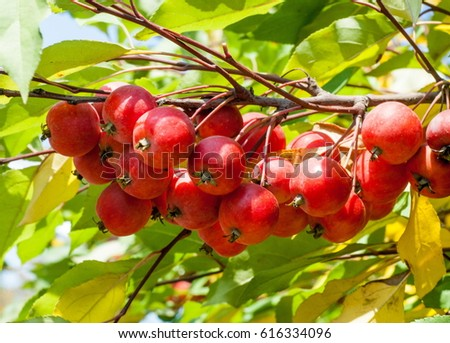 Decoration of the urban boulevards Crabapple and wild apple. Malus is a genus of about 55 percent of the species of small deciduous apple or shrub in the family Rosaceae